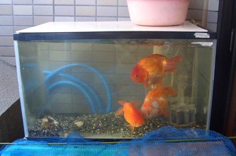 60cm水槽に入っている3匹の金魚
