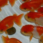 金魚の繁殖方法、分かれば意外と簡単、親魚の入手から産卵、稚魚の飼育まで