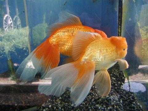 メスを追いかけているオスの金魚