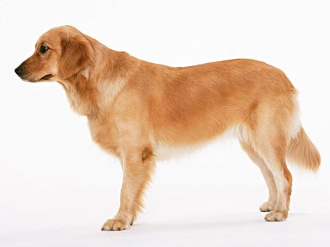 ペットの犬