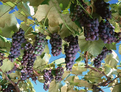 レスベラトロールが豊富なブドウ