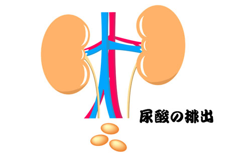 尿酸を排出している腎臓
