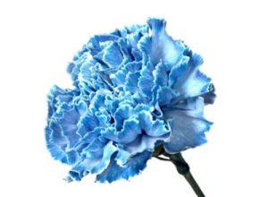青色のカーネーション