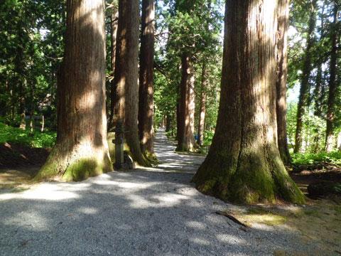 芦峅中宮の境内に生えている立山杉の巨木
