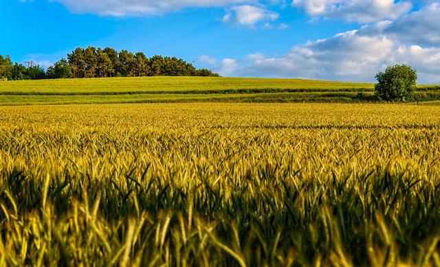 豊かな麦畑